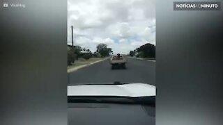 Vaca apanha pega carona em caminhonete na Austrália