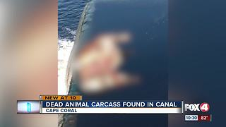 Decapitated animal found in Cape Coral canal
