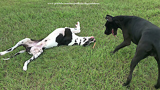 Energetic Great Danes Wrestle and Argue About a Stick