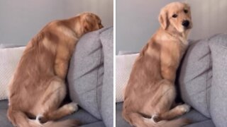 Golden Retriever puppy only reacts to her favorite word