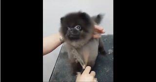 Dancing Dog Getting a Haircut | CUTE Must Watch !!!