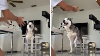 Smart husky can't be fooled by tricky hug