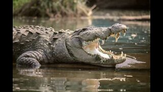 Krokodille styrer showet: Den største reptil på Jorden