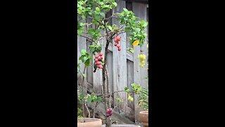 #Back Yard Birds Hawai'i Mejiro or Japanese White Eye bird