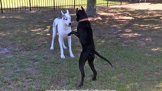 Puppy Has Difficulties Convincing Senior Great Dane To Play