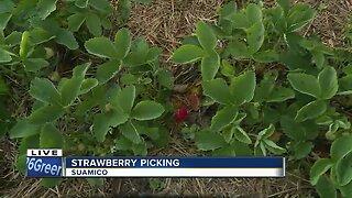 Strawberry picking season running behind