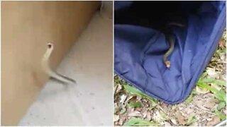 Mann finner slange i huset sitt i Australia