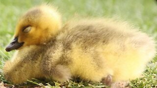 Adorable baby Goose falls asleep while being petted.