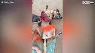 Dog gets vacuum cleaner massage - 1