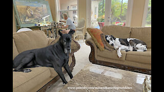 Comfy Great Danes Relax While Artist Gives Faux Painting Tips