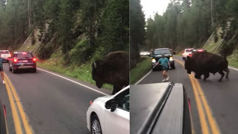 Absolute Idiot Challenges Bison In Yellowstone National Park