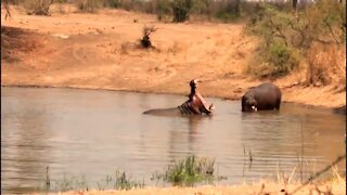 Territorial hippos make intimidating sounds while showing their teeth