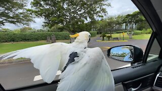 Parrot absolutely loves to go window surfing during car ride