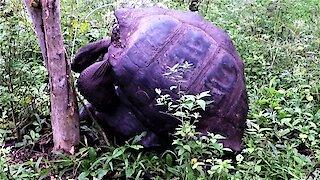 Amorous Giant Galapagos Tortoises knock a tree down with their enthusiasm