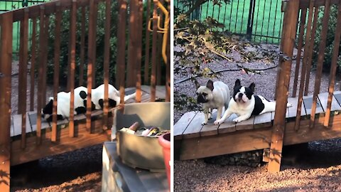 Frenchie finds a genius way to scratch an itch