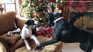 Vocal Great Dane puppy steals cat's chair