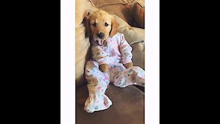 Puppy dresses up in adorable baby pajamas