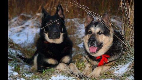 East European Shepherd