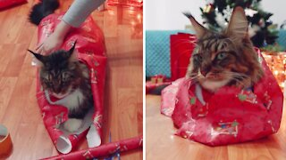 Patient cat allows owner to wrap it like a Christmas gift