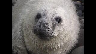 Cutie seal pup