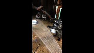 Orphaned baby raccoons love playing with water hose