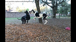 Amazing Slow Motion Pouncing and Bouncing Great Danes