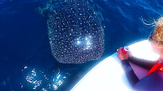 Young whale shark swims right into boat with his head