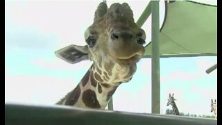 Outpouring of support through social media after giraffes die at Lion Country Safari