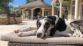 Great Dane thoroughly enjoys lounging by the pool
