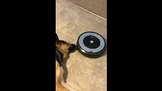 Robot Vacuum Repeatedly Runs Into Dog's Nose