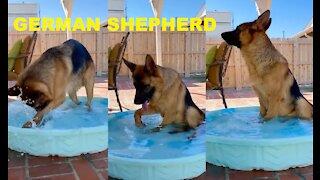 GERMAN SHEPHERD BATHING