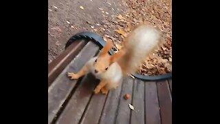 Friendly wild squirrels collide over tasty walnut