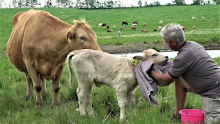 Trusting mother cow allows calf with disability to be given a sponge bath