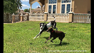 Great Danes Have Fun Playing Ball With German Short Haired Pointer GSP