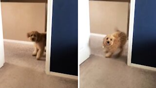 Goldendoodle puppy can't locate where her owner is