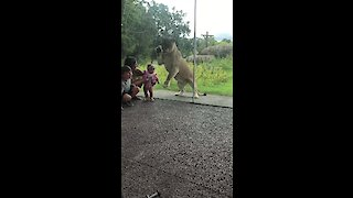 Lion Tries To Catch Kids From Behind Zoo Glass