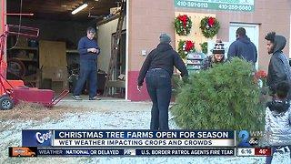Christmas tree farms open for holiday season