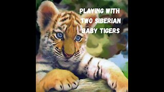 Playing with two siberian baby tigers