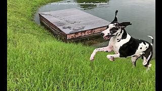 Playful Great Dane Has Fun Playing Jolly Ball Pond Golf