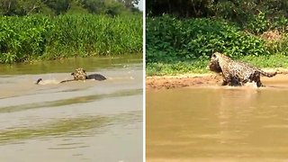 Stealthy jaguar catches and wrestles caiman out of river for dinner
