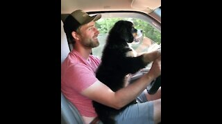 Puppy eagerly learns how to drive owner's car