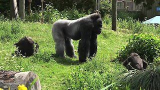 Silverback dad defends & protects daughter