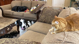 Great Dane Respects That Cat Doesn't Want To Share The Loveseat