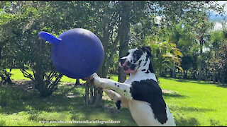Funny Great Dane Plays Volleyball And Soccer With His Jolly Ball