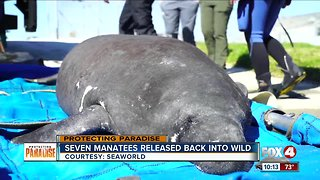 Seven manatee released back into the wild