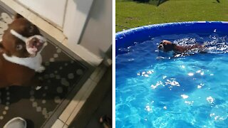 Boston Terrier tricks owner in order to jump into swimming pool