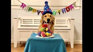 Golden Retriever overjoyed at birthday cake made of tennis balls