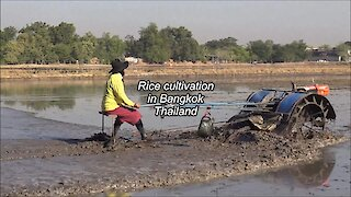Rice cultivation in Bangkok, Thailand