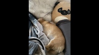 Sleepy Corgi Puppy Does Not Want to Wake Up from Her Nap - Cuteness Overload!
