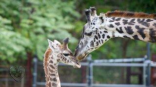 Giraffe moms and their babies